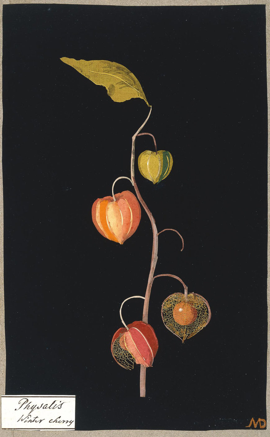 Mary Delany,Physalis, Winter Cherry, 1772-88, paper collage, England 29.1 x 17.7 cm (© The Trustees of the British Museum)